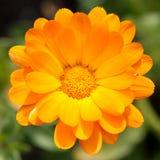 Marigold de potenciômetro Imagens de Stock Royalty Free