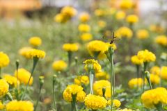 Marigold with Dragonfly. Stock Image