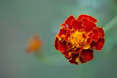 Marigold Dream Stock Images