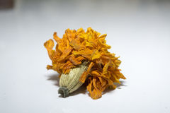 Marigold Dried. Ready to plant a new marigold plant with dried seeds from the subjected flower in the picture Stock Image