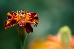 Marigold with drops after rain stock image