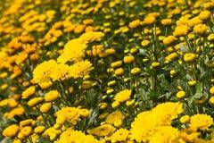 Marigold farm Royalty Free Stock Image