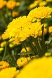 Marigold farm Royalty Free Stock Photography