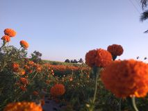 Marigold Farm. Evening scene in india Stock Images