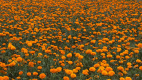 Marigold farm Stock Photography