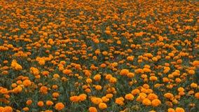Marigold farm Stock Photography