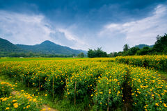 Marigold farm. Landscape of marigold farm with blue sky royalty free stock photography
