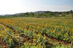 Marigold farming Royalty Free Stock Image