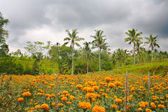 Marigold farming in Bali Indonesia Royalty Free Stock Images