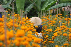 Marigold farming in Bali Indonesia Royalty Free Stock Image