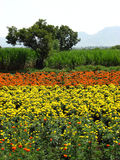 Marigold Farms Stock Image
