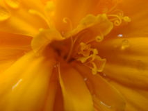 Marigold fibers Royalty Free Stock Image