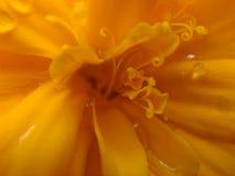 Marigold fibers. Extreme close up of marigold flower Royalty Free Stock Image