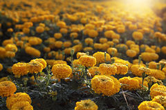 Marigold field Royalty Free Stock Photo