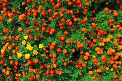 Marigold field Stock Image