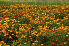 Marigold Field. Of multi color flower Royalty Free Stock Images