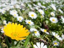 Marigold field Royalty Free Stock Photos