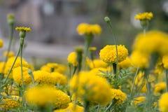 Marigold field garden. Royalty Free Stock Image