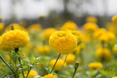 Marigold field garden. Royalty Free Stock Photos