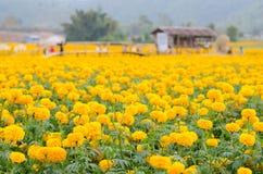 Marigold field Royalty Free Stock Photo