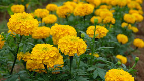 Marigold Field Stock Images