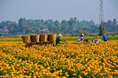 Marigold field in thailand Stock Photo