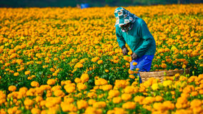 Marigold field in thailand Royalty Free Stock Photography