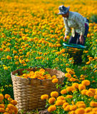 Marigold field in thailand. Suhkothai - February 1 : Unidentified worker is picking marigold flowers for sell to flower market in Bangkok on February 1,2014 in royalty free stock image