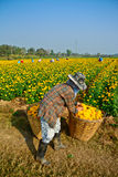 Marigold field in thailand Stock Photography