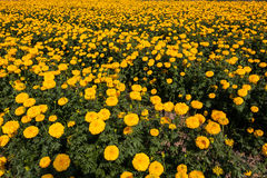 Marigold field Royalty Free Stock Images