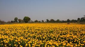 Marigold field Stock Photo