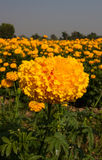 Marigold field Stock Photography