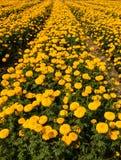 Marigold field Stock Photos