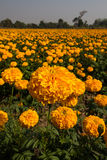 Marigold field Stock Image