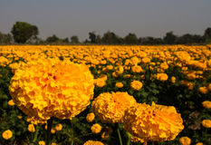 Marigold field Stock Photos