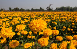 Marigold field Royalty Free Stock Image