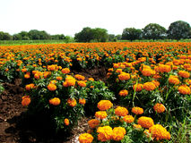 Marigold Fields. A huge marigold field in India, where flower agriculture is picking up Royalty Free Stock Images