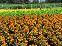 Marigold Fields Royalty Free Stock Image