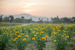 Marigold fields with background sunset , thailand. Marigold fields with background sunset Stock Image