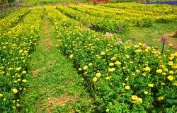 Marigold fields Royalty Free Stock Photos