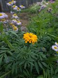 Marigold fiower summer royalty free stock photography