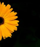 Marigold-flower. Half marigold on black background Royalty Free Stock Photography