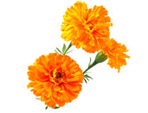 Marigold flower Stock Photo