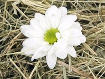Marigold flower Stock Photos