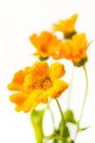 Marigold flower. Beautiful yellow Calendula officinalis background Stock Image