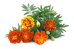 Marigold flower Royalty Free Stock Photos