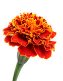Marigold flower Stock Photos