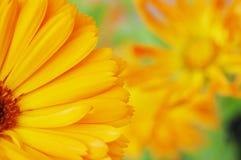 Marigold flower. Field Stock Photos