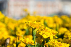 Marigold flower. Another yellow marigold flower on a background field Stock Photo