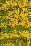 Marigold flower background Stock Photos